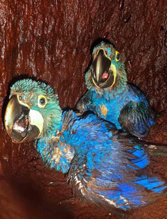 En la década de los 90, avionetas procedentes del Paraguay llegaban hasta la comunidad de San Fernando, para llevarse pichones de paraba azul, que vendían hasta en 15.000 dólares en el mercado negro de mascotas. Foto: Ricardo Barbery / Dirección ANMI San Matías, SERNAP.
