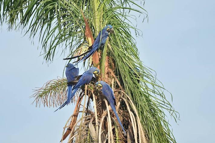 Parabas azules alimentándose de los frutos de una palmera de motacú. La Anodorhynchus hyacinthinus tiene el pico más poderoso entre todos los psitácidos. Foto: Fundación CLB.