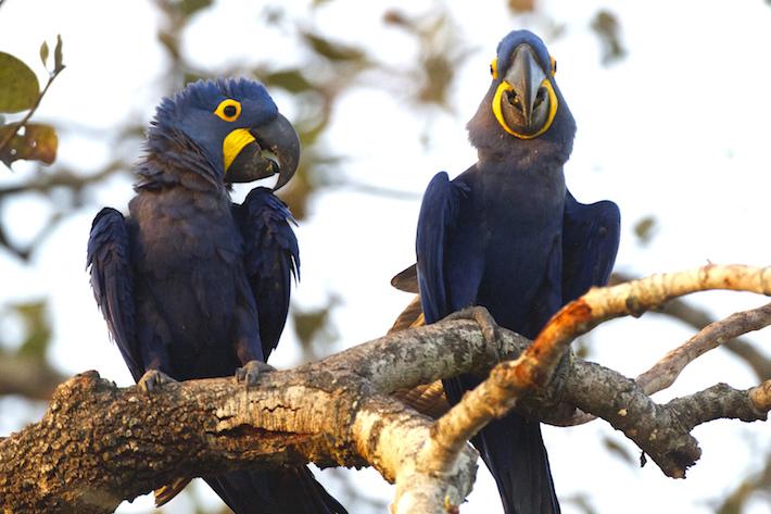 La población de la paraba azul se ha reducido debido al tráfico de especies silvestres. Foto: Willy Montaño/ Fundación CLB.