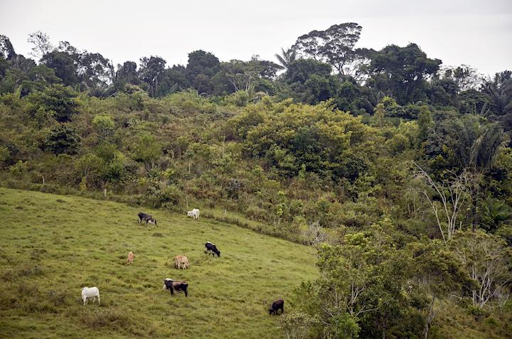 """Colombia: Este es el paisaje típico ganadero en el Caquetá. Extensos potreros con algunos árboles y pocas vacas. Estas últimas son la """"vanguardia"""" de la deforestación. Acá se ve cuán próximas están a la frontera del bosque amazónico. Foto: Diana Rey Melo / SEMANA. deforestación en los bosques del mundo"""