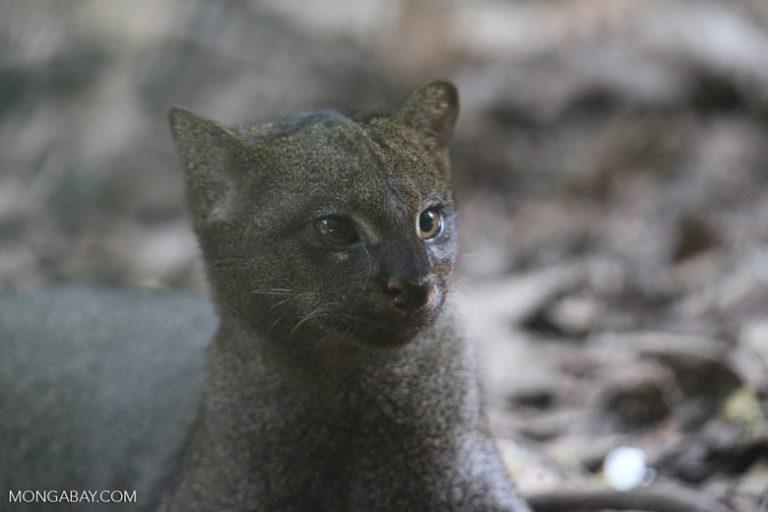 No hay muchos yaguarundíes cautivos en EE.UU.; los zoos no los exhiben actualmente, aunque están discutiendo incluir yaguarundíes. Foto de Rhett A. Butler