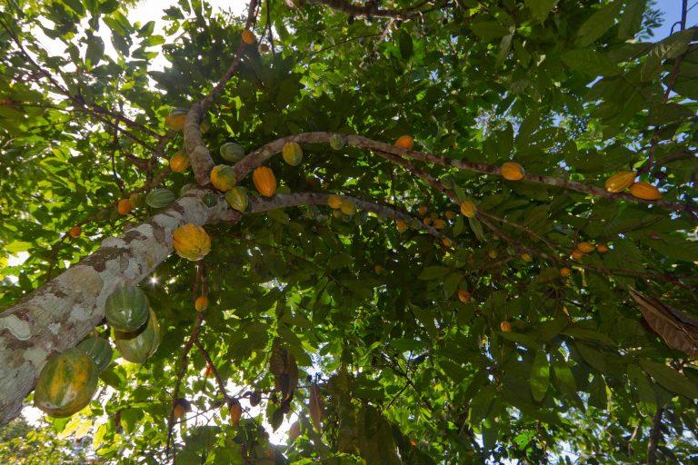 Entre los proyectos desarrollados destaca el manejo del cacao Amazónico, una fuente de ingresos para las comunidades. Foto: WCS Bolivia.