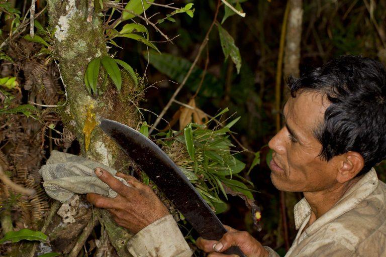El incienso es de uso ancestral y tiene valor cultural, por su utilización en ceremonias, además de poseer propiedades medicinales. Foto: WCS Bolivia.