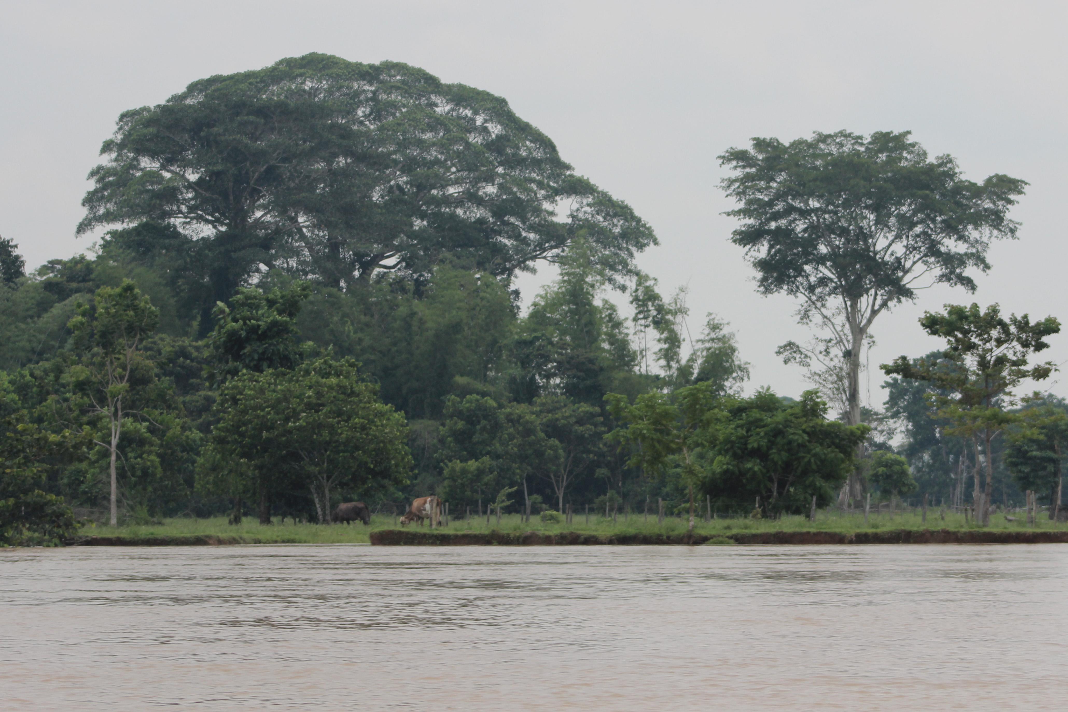 Ganadería a orillas del río Orteguaza, Caquetá. Foto: Guillermo Rico