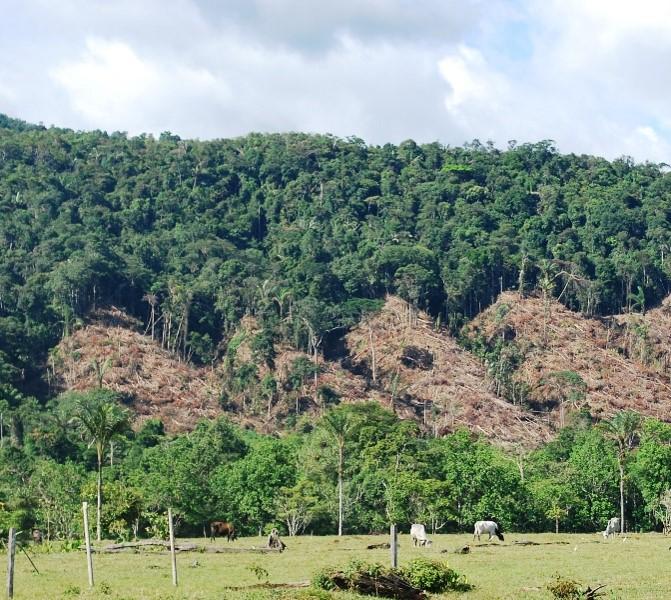 Uno de los principales motores de la deforestación es la ganadería. Foto: Corpoamazonia.
