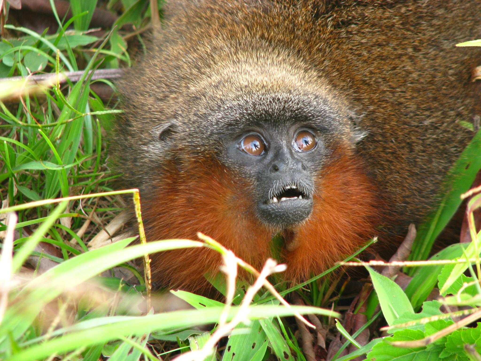 El mico bonito del Caquetá fue declarado en peligro crítico de extinción por parte de la UICN poco después de su descubrimiento. Foto: Javier García, Fundación Herencia Natural.