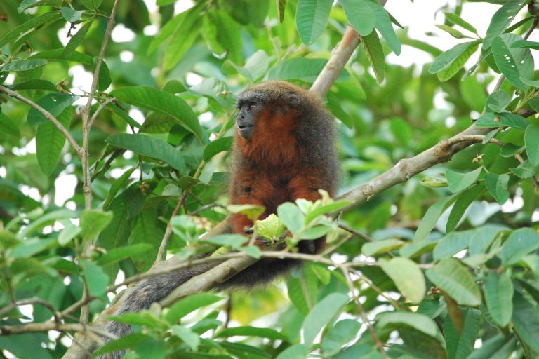 Este pequeño primate mide tan solo 35 cm pero su larga cola mide 61 cm, es decir, casi el doble de su tamaño. Foto: Javier García, Fundación Herencia Natural.