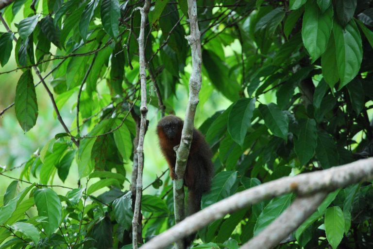Este pequeño primate mide tan sólo 35 cm pero su larga cola mide 61 cm, es decir, casi el doble de su tamaño. Foto: Javier García, Fundación Herencia Natural.
