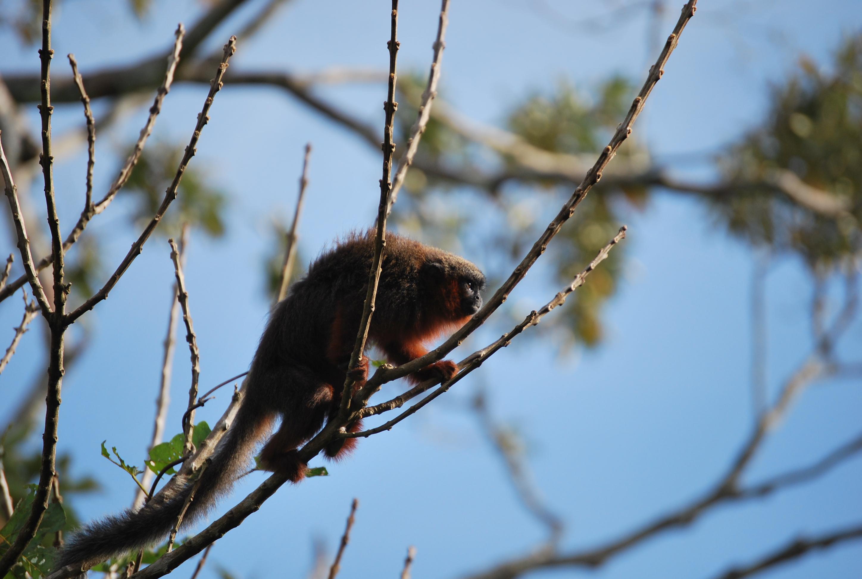 El tití del Caquetá habita en un departamento que en los últimos 10 años ha perdido más de 200 000 hectáreas de bosque, un área similar a la de un país como Luxemburgo. Foto: Javier García, Fundación Herencia Natural.