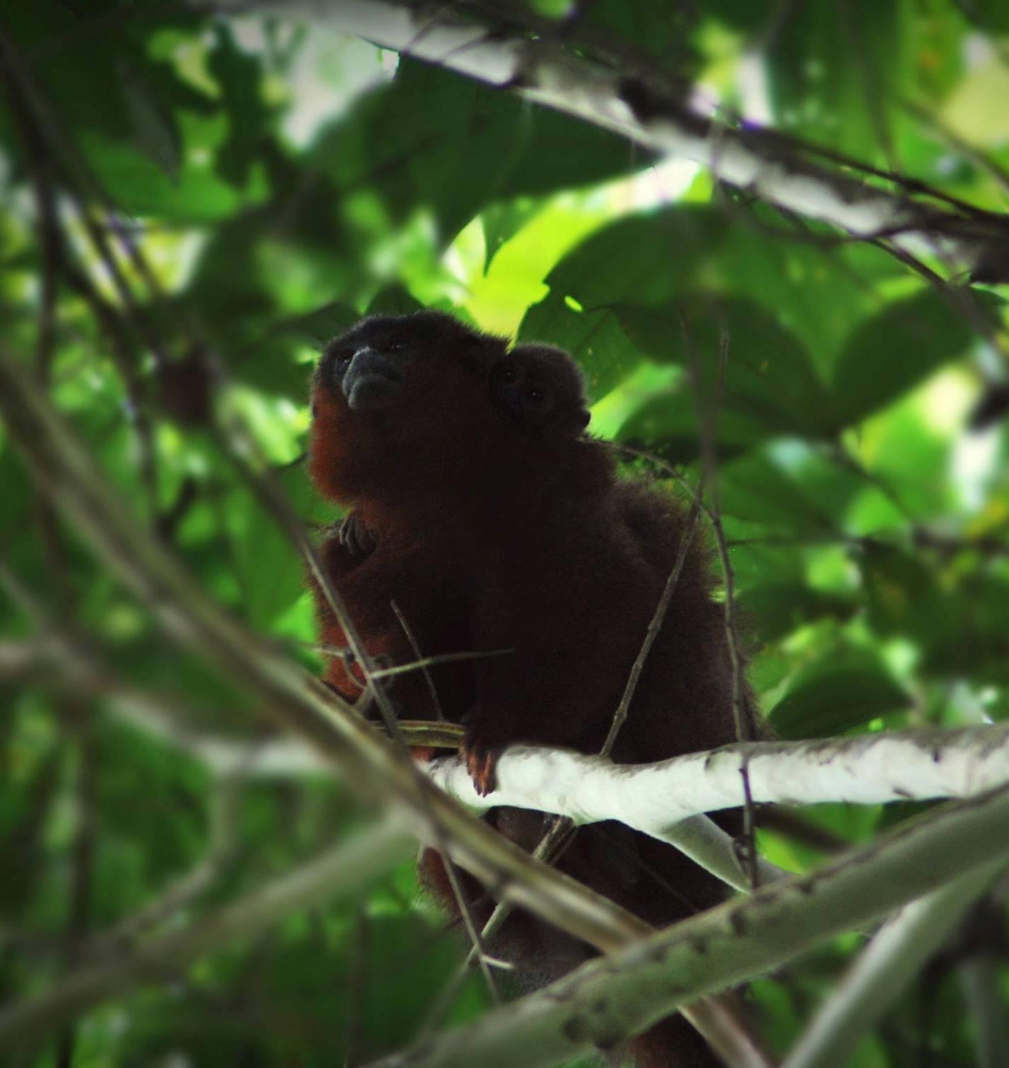 Hasta el momento el Ministerio de Ambiente y Desarrollo Sostenible no ha reconocido a esta especie en la lista de especies amenazadas de Colombia. Foto: Javier García.