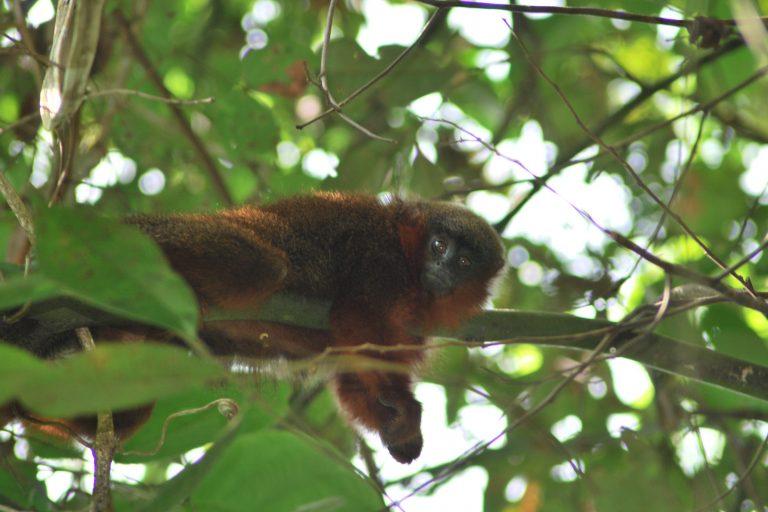 El mico bonito del Caquetá fue declarado en peligro crítico de extinción por parte de la UICN poco después de su descubrimiento. Foto: Javier García, Fundación Herencia Natural