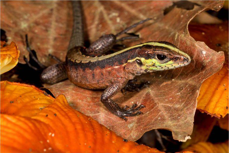 Se calcula que más de cien especies de reptiles se encuentran en el Parque Nacional Madidi. Foto: Milieniusz Spanowicz / WCS