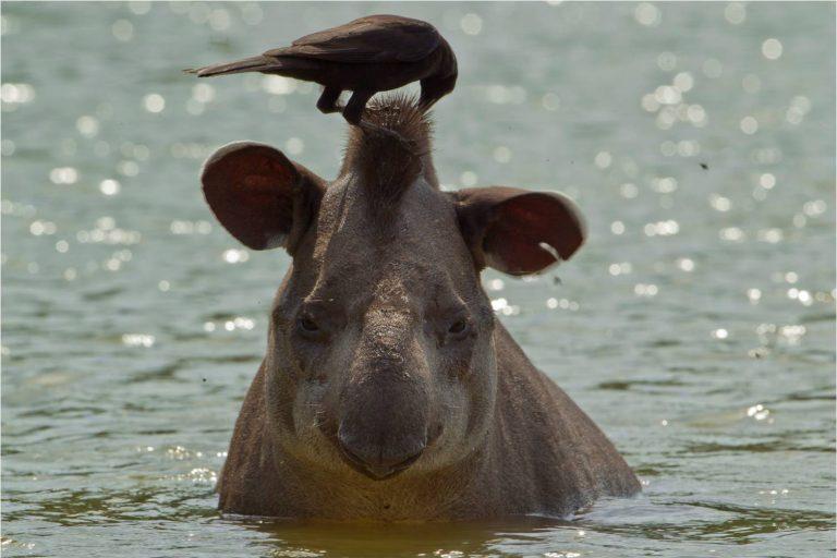 Tiernas escenas de convivencia entre la fauna han sido captadas durante los recorridos al Parque Nacional Madidi. Foto: WCS