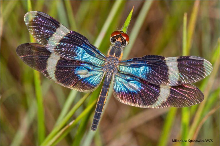 Más de 1500 especies de mariposas se han encontrado en el Parque Nacional Madidi. Foto: Milieniusz Spanowicz / WCS