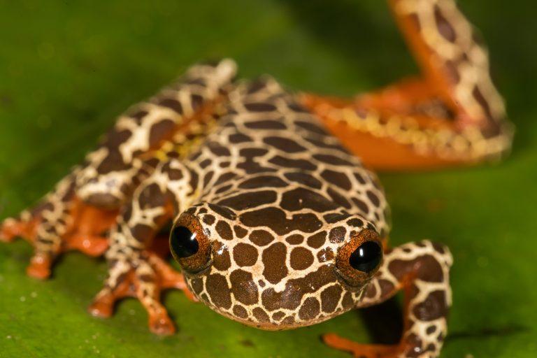 La cantidad de especies de anfibios en el Parque Nacional Madidi supera la centena. Foto: WCS.
