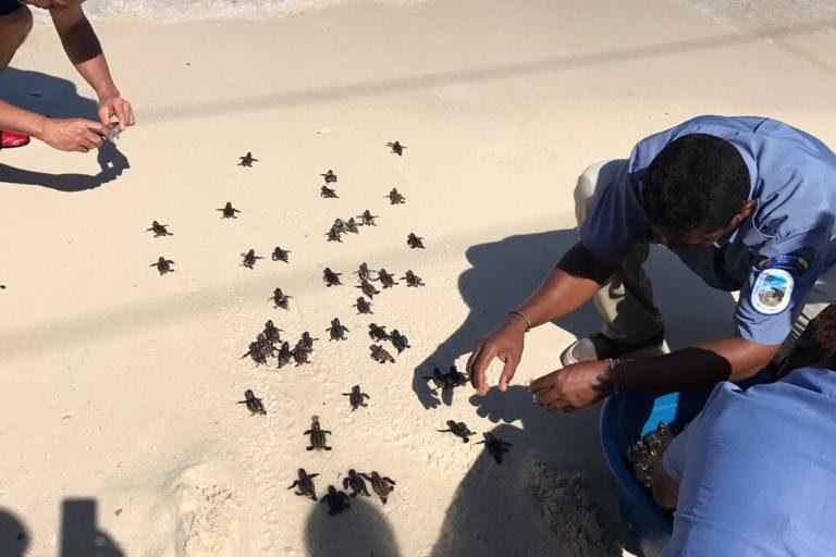 Funcionarios de Parques Nacionales Naturales contabilizaron 15 nidos de tortugas Carey en 2008, en 2015 apenas encontraron uno. Foto: Parques Nacionales Naturales de Colombia.