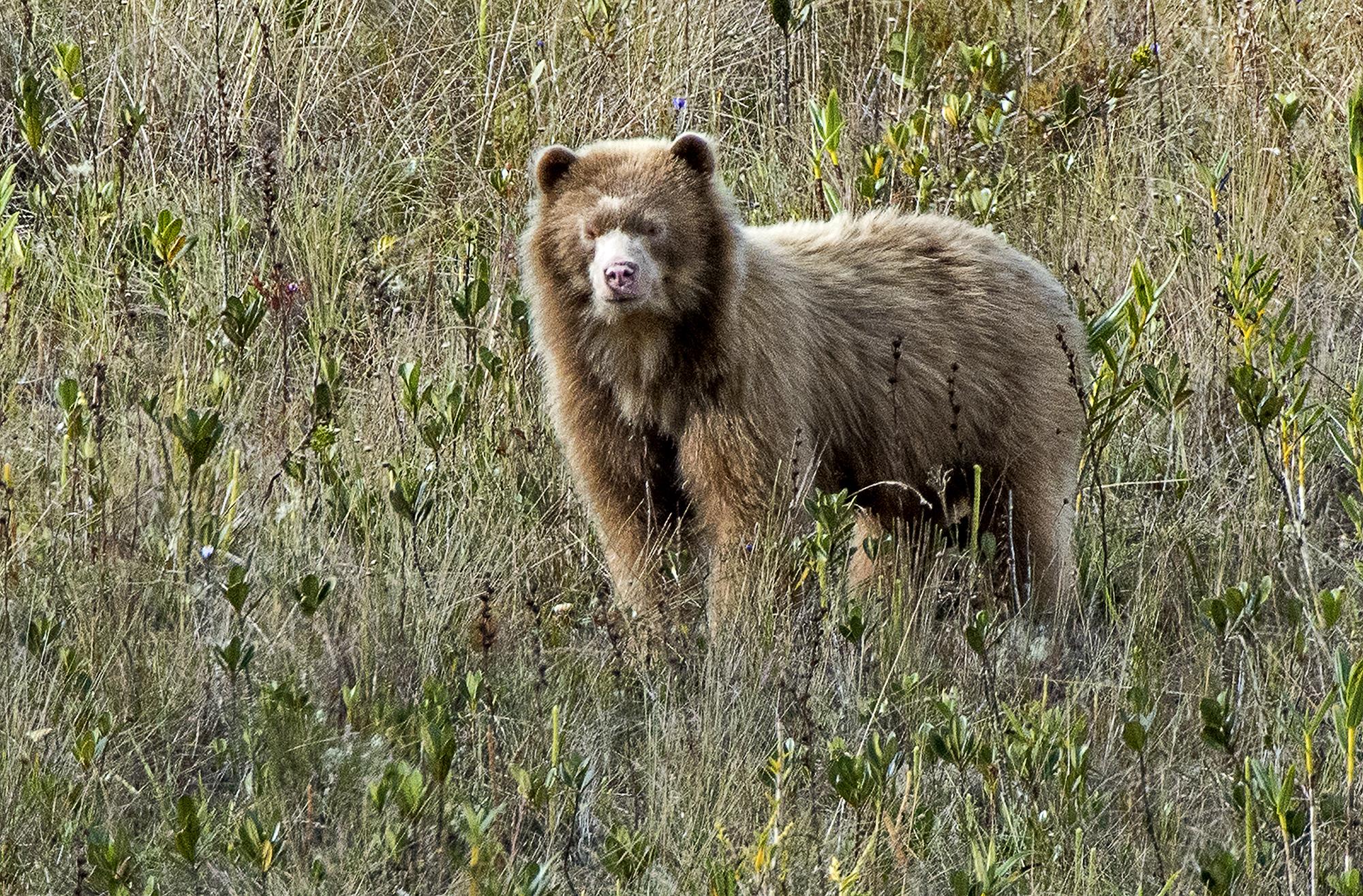 Paddy sería el único ejemplar de oso dorado que habita en la región Amazonas. Foto: Michael Tweddle.