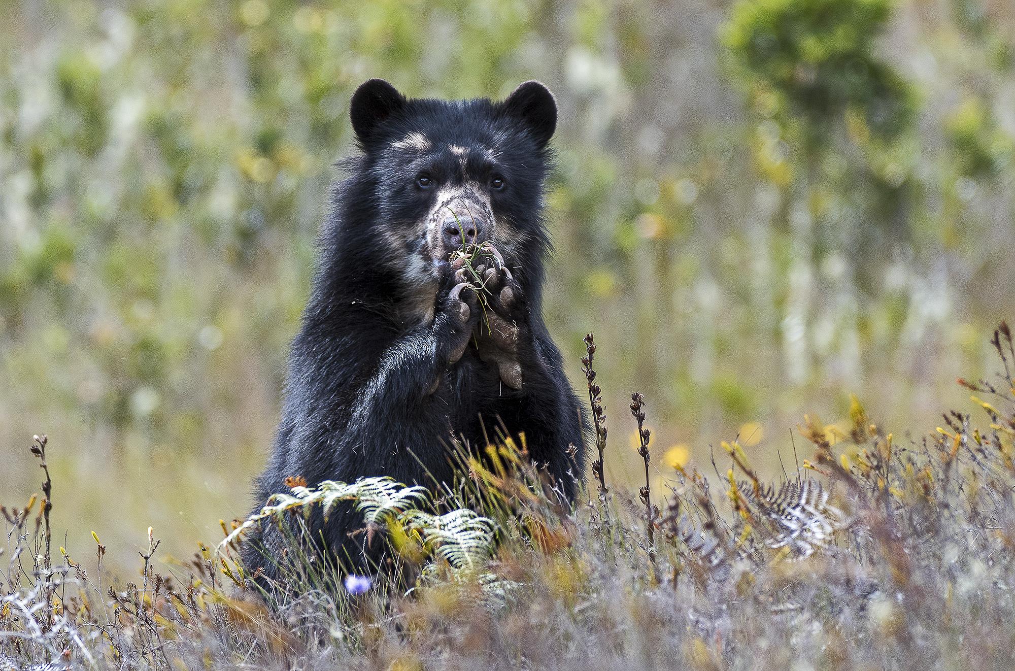 El oso andino u oso de anteojos es una especie en situación vulnerable expuesto a amenazas causadas por actividades humanas. Foto: Michael Tweddle.