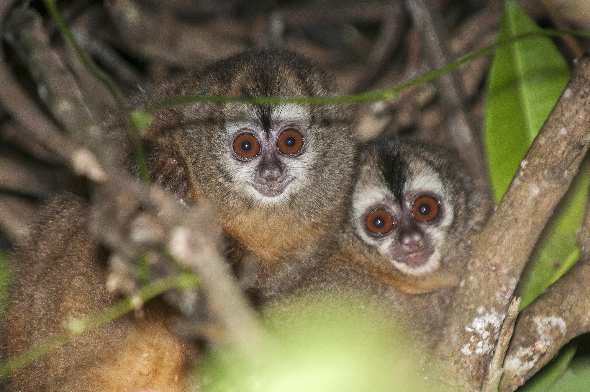 El mono nocturno es una especie endémica que habita en la misma zona donde se ha encontrado al oso de anteojos. Foto: Michael Tweddle.