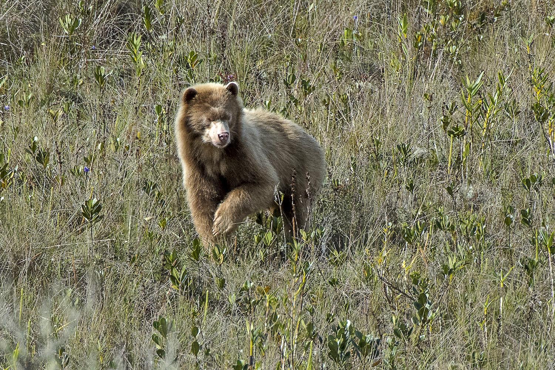 En una expedición en la región Amazonas el fotógrafo Michael Tweddle logró captar por primera vez al oso dorado. Foto: Michael Tweddle.