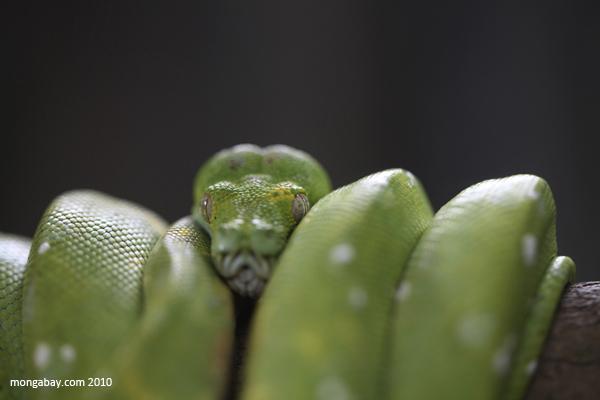 """La pitón arborícola verde (Morelia viridis) habita en Nueva Guinea, Australia y las Islas Salomón. Con una longitud de hasta 2,4 metros, acecha a sus presas -principalmente pequeños mamíferos y reptiles- desde las ramas de los árboles. Su estado de conservación es """"Preocupación menor"""". Foto: Rhett A. Butler"""