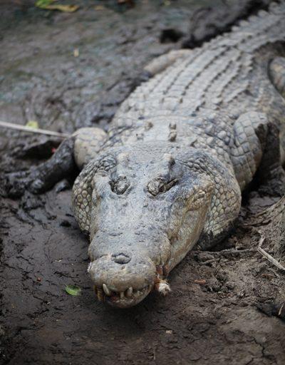 """El cocodrilo de agua salada (Crocodylus porosus) es el reptil de mayor tamaño en el mundo: alcanzan en promedio los 7 metros de longitud y los 1500 kilos, aunque se habla de un especimen aún mayor en la India. Habita en Nueva Guinea, Australia y el Sudeste Asiático. Su estado de conservación es """"Preocupación menor"""". Foto: Rhett A. Butler"""