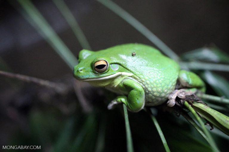 """La rana arborícola verde de White (Litoria caerulea) habitaba originalmente Australia, pero fue introducida en Nueva Guinea y otros lugares. Las secreciones de su piel tienen propiedades antivirales y antisépticas. Su estado de conservación es """"Preocupación menor"""". Foto: Rhett A. Butler"""