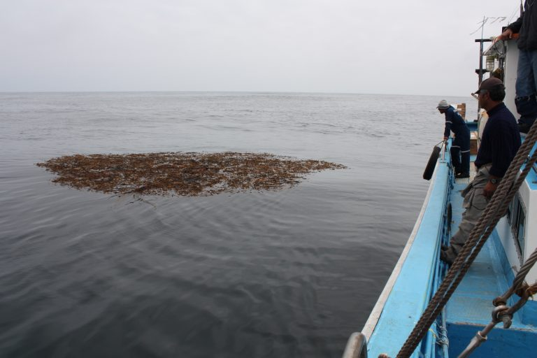 Mientras investigaba las algas gigantes Macrocystis pyrifera descubrió que la basura, principalmente plásticos, también se desplazaban en el mar. Foto: Martín Thiel.