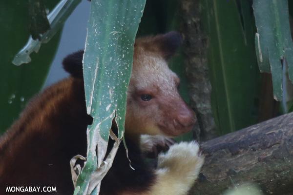 """El canguro arborícola de Goodfellow (Dendrolagus goodfellowi) es una especie nativa de Nueva Guinea. Más pequeño que los canguros terrestres, esta especie tiene fuertes garras y una larga cola. Su estado de conservación es """"En Peligro Crítico"""" debido a la caza y la pérdida de hábitat. Foto: Rhett A. Butler"""