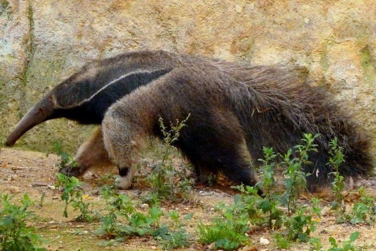 El oso hormiguero gigante, nativo de Sudamérica, es una de las numerosas especies de mamíferos que residen en la ecorregión del Gran Chaco. Créditos de la foto: Sémhur, Licencia Arte Libre