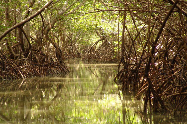 En un ecosistema de manglar como este, en la bahía de Cispatá, se pretende construir dos puertos. Foto: Clara Lucía Sierra.