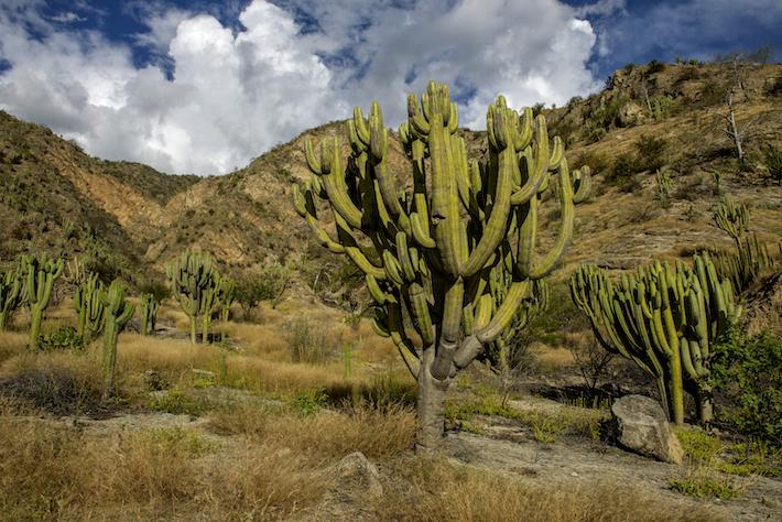 Existen 143 especies de plantas endémicas en los bosques secos del Marañón. Este ecosistema es único en el Perú por esa cualidad de albergar ejemplares únicos en un espacio reducido. Crédito: Michell León / Naturaleza y Cultura Internacional