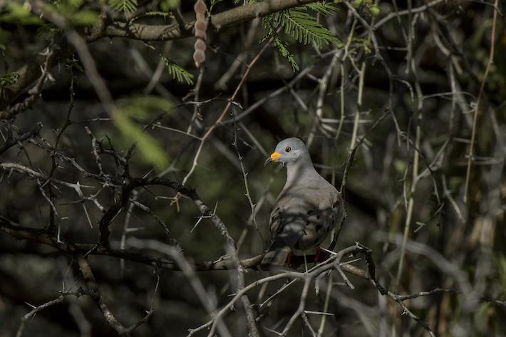 La paloma peruana es una de las especies endémicas de los bosques secos del Marañón que rescatan los ornitólogos en sus avistamientos. Llegar a la zona es una empresa complicada, por lo que el valor de verla es aún mayor. Crédito: Michell León / Naturaleza y Cultura Internacional