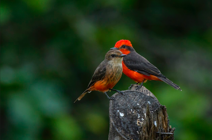 Aunque no es endémico, el mosquero cardenal (Pyrocephalus rubinus) es una de las aves que transita la zona. En la foto se observa el ejemplar macho, con el pecho rojo, y la hembra con pecho marrón. Crédito: Luis Herrera / Archivo NCI