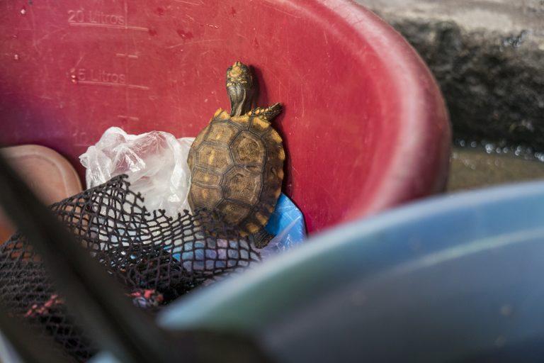 Las tortugas son almacenadas en condiciones inadecuadas en los mercados peruanos. Foto: WCS.