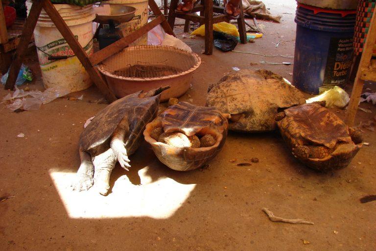 Las tortugas se venden en los mercados ilegales de la Amazonía peruana. Foto: WCS.