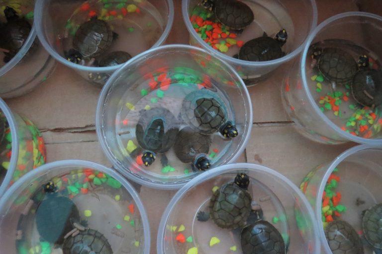 La taricaya es la especie de tortuga que más se comercializa en el mercado ilegal de Perú. Foto: Serfor