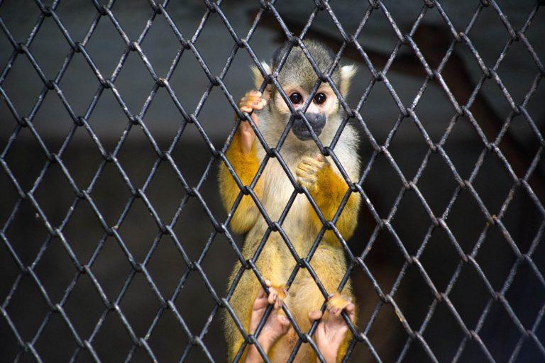 Más de diez mil animales. vivos y muertos, han sido incautados en Perú durante el año 2017. Foto: Serfor.