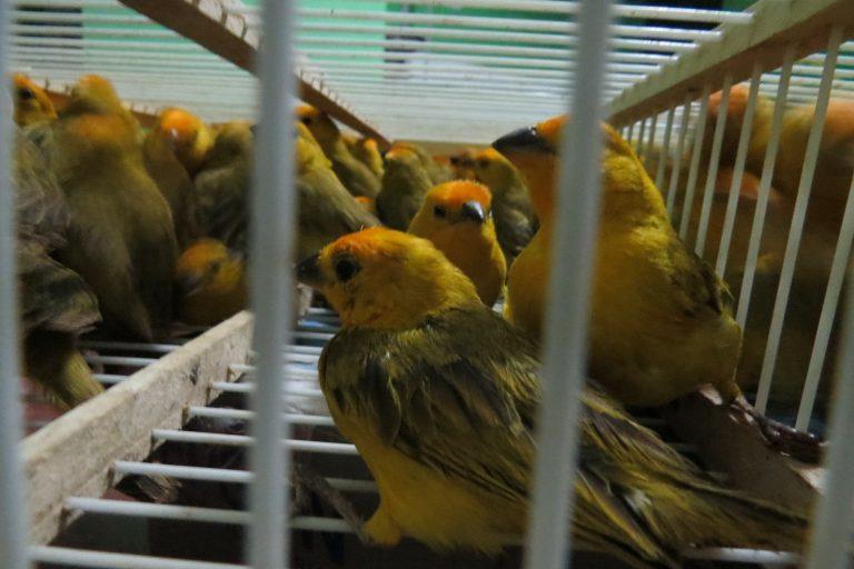 La mayor parte de los animales silvestres capturados se comercializan en el mercado nacional. Foto: Serfor.