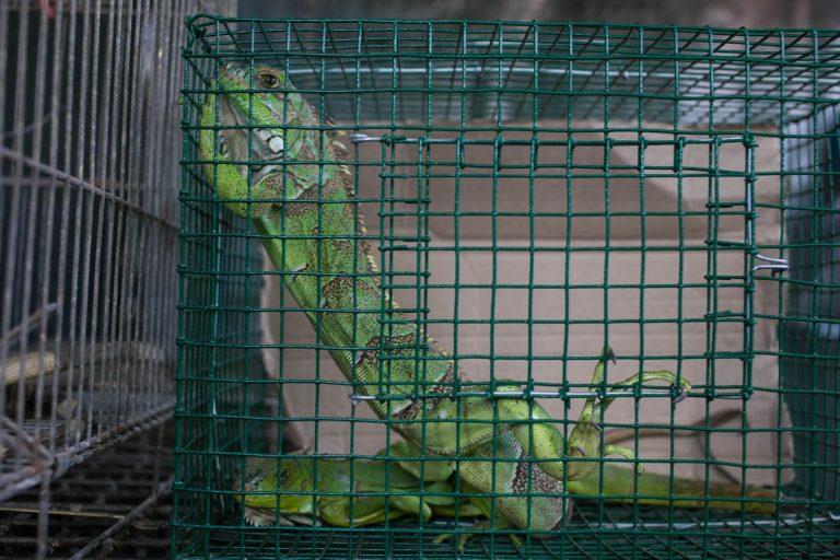 La iguana verde se oferta hasta por 50 dólares en el mercado ilegal de fauna silvestre. Foto: Serfor.