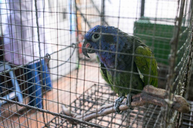 Las aves ocupan el primer lugar en lam lista de especies más traficadas en Perú. Foto: Serfor.