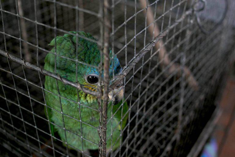 Perú posee más de 1800 especies de aves, por ello, se ha convertido en uno de los países preferidos para abastecer los comerciantes ilegales de estas especies. Foto: Serfor.