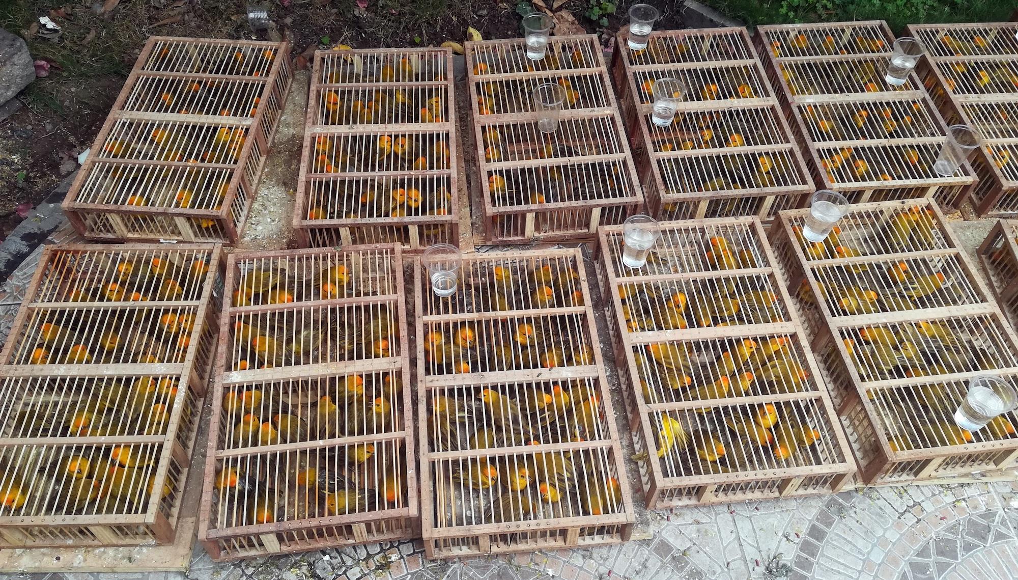 El botón de oro (Sicalis flaveola) está entre las especies de aves preferidas por los traficantes. Foto: Serfor.