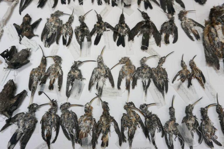 En abril de este año, un cargamento de aves conservadas en sal fue encontrado dentro de una caja que iba a ser enviada a Rusia a través del correo postal. Foto: Serfor.