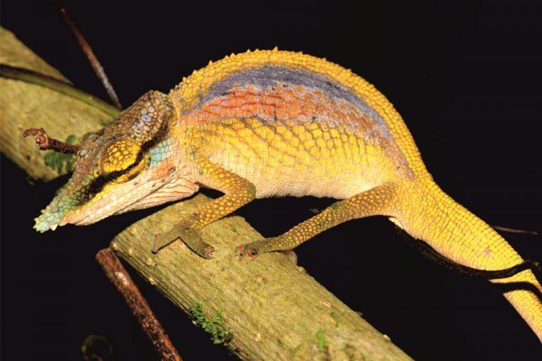 Un macho de la nueva especie Calumma uetzi mostrando los colores de cortejo. Imagen de Frank Glaw (ZSM / LMU)