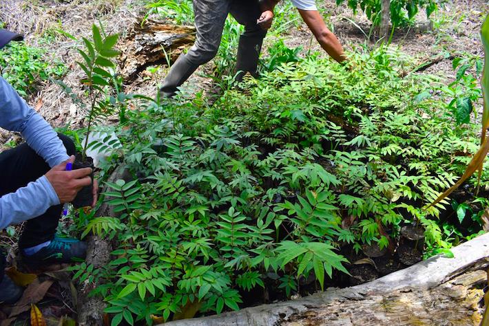 La Cooperativa Agraria Cacaotera (Acopagro) también es parte de la reforestación de árboles en las zonas de amortiguamiento tanto del Parque Nacional Río Abiseo como de su concesión para la conservación. Los plantones más comunes son de las especies bolaina y shihuahuaco. Crédito: Acopagro.