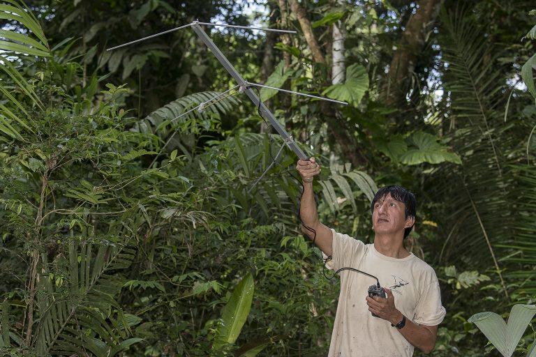 El monitoreo en la selva luego de la liberación de los monos araña se realiza de manera permanente. Foto: Michael Tweddle / Tweddlefoto.com