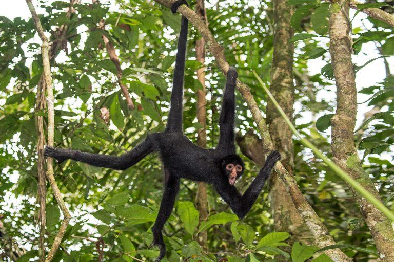 El mono araña está considerado En Peligro y forma parte del apéndice II del CITES. Foto: Michael Tweddle / Tweddlefoto.com