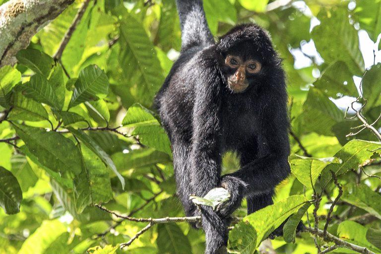 El mono araña negro también esta en la lista de especies priorizadas por el Plan Nacional de Conservación de los Primates Amenazados del Perú. Foto: Michael Tweddle