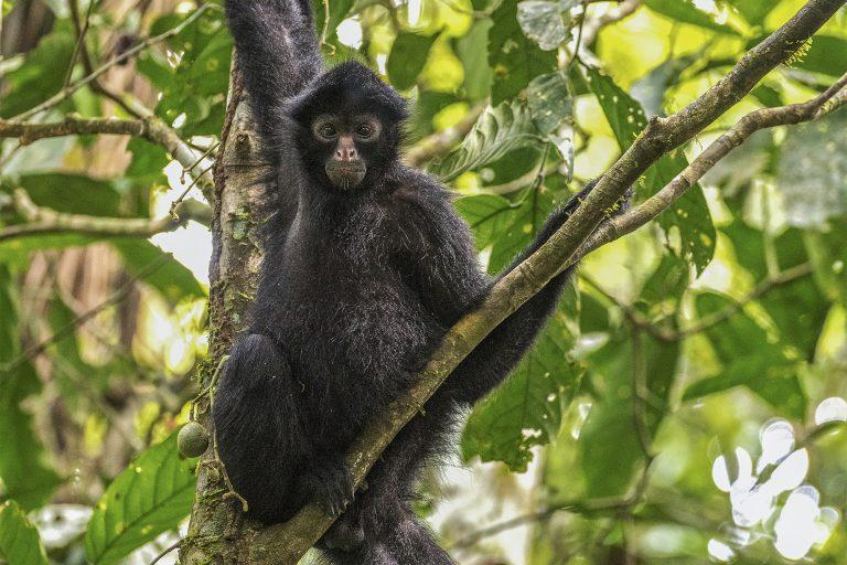 Hasta ahora se ha logrado liberar tres grupos de monos araña con resultados alentadores. Foto Michael Tweddle / Tweddlefoto.com